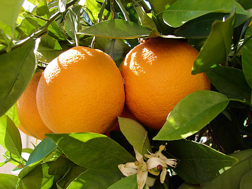 Oranges Are Plentiful in Arizona.